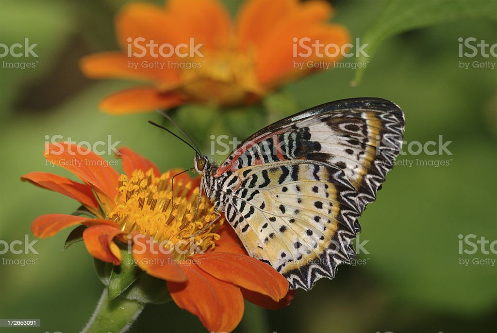 Leopard Lacewing (Cethosia cyane) in Thailand stock photo