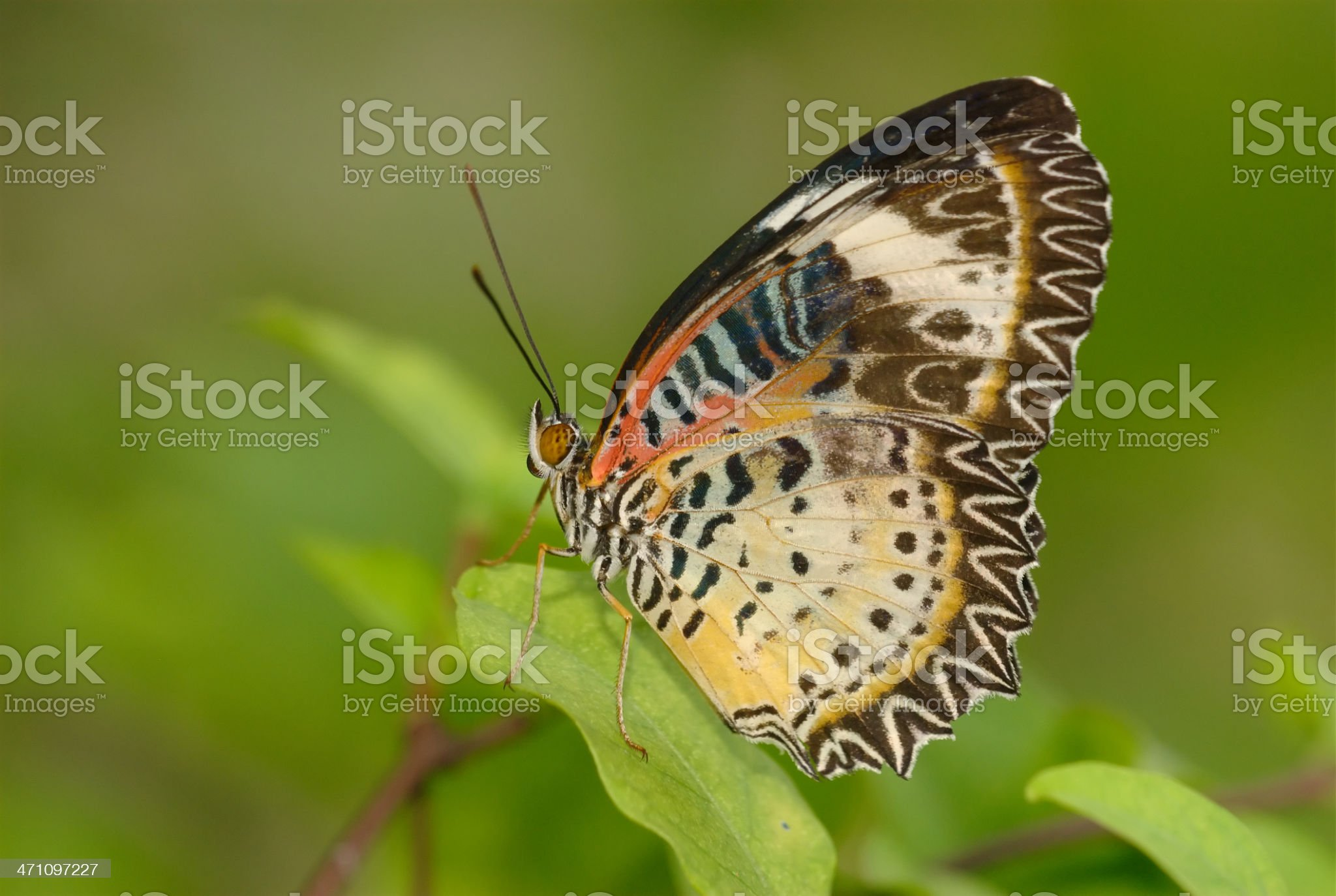 Leopard Lacewing (Cethosia cyane) in Thailand royalty-free stock photo
