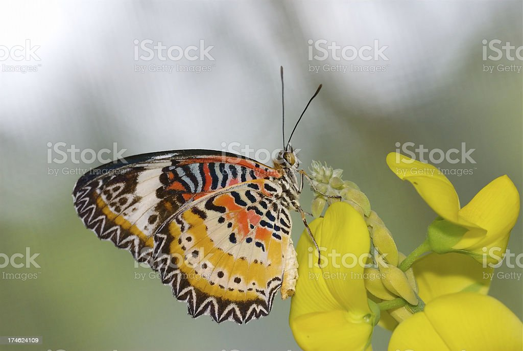 Leopard Lacewing (Cethosa Cyane) of Singapore royalty-free stock photo