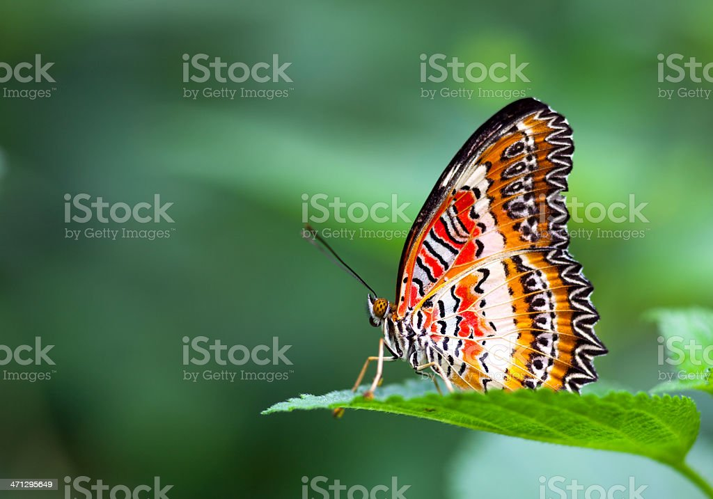 Leopard Lacewing royalty-free stock photo