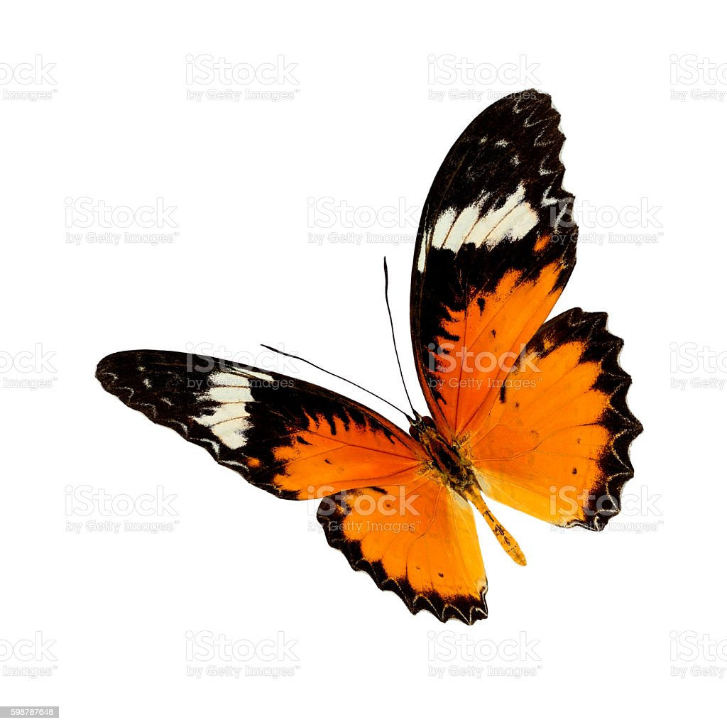leopard lacewing stock photo