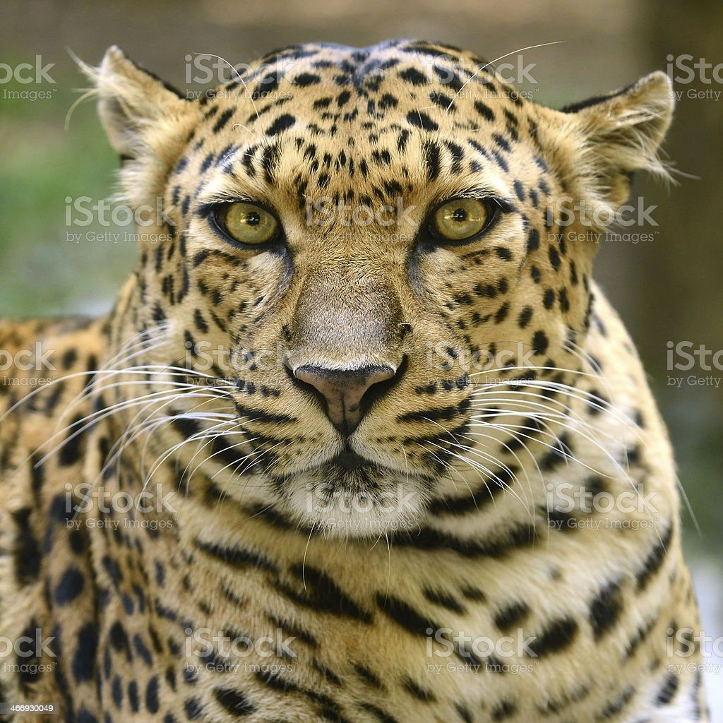 Leopard Looking royalty-free stock photo