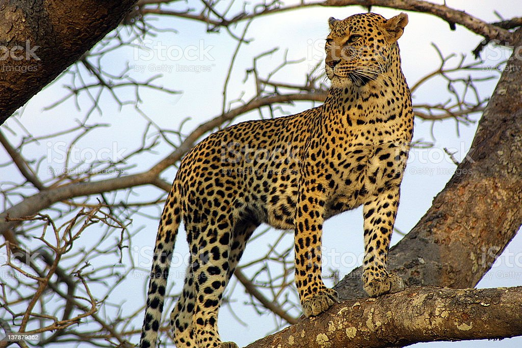 Leopard on the Lookout royalty-free stock photo
