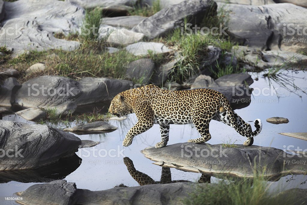 Leopard on the Prowl stock photo