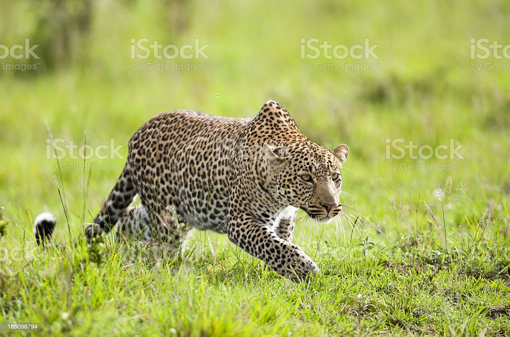 Leopard on the prowl royalty-free stock photo