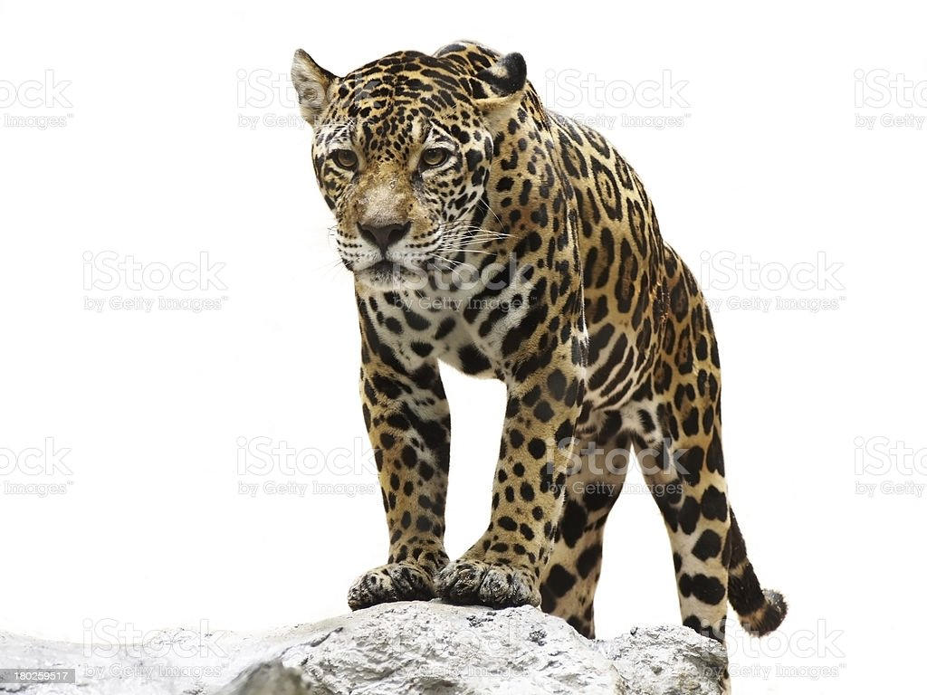 leopard on the rock stock photo