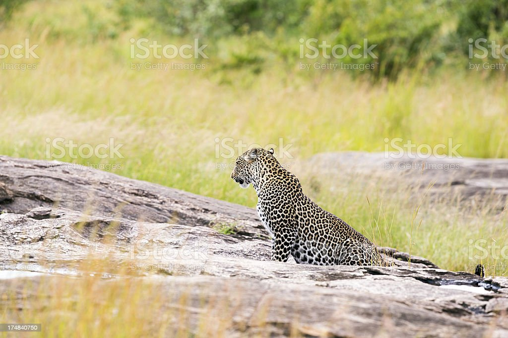Leopard - on the rock, side view, sitting royalty-free stock photo