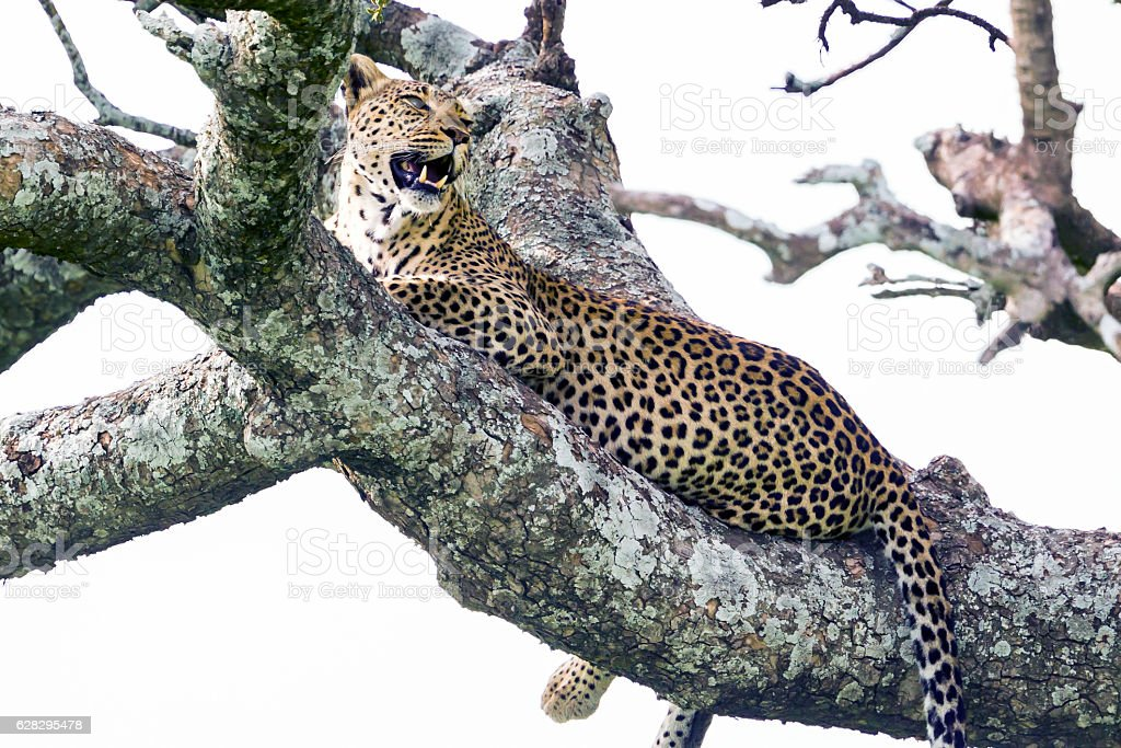 Leopard on the tree stock photo