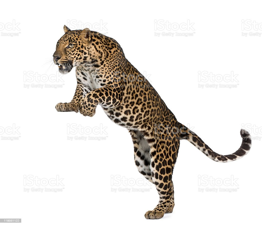 Leopard, Panthera pardus, in front of white background, studio shot stock photo