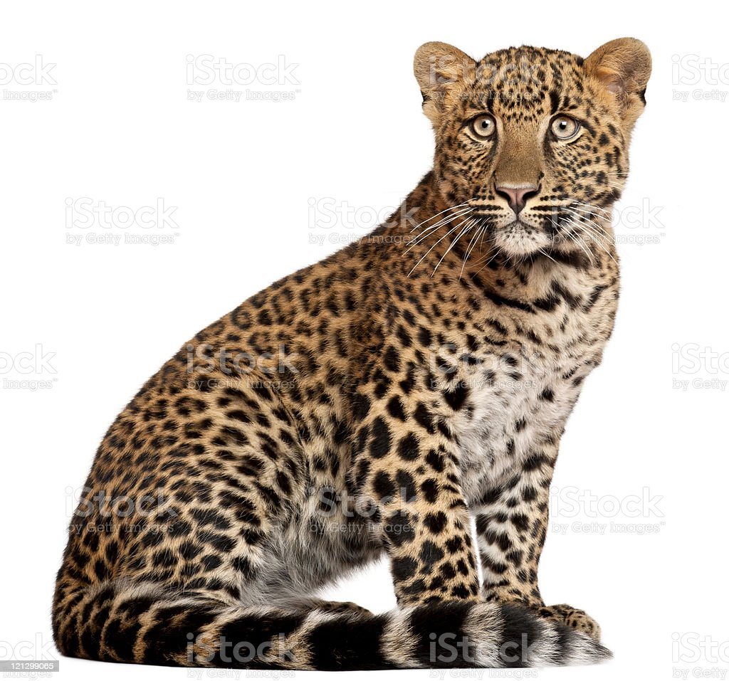 Leopard, Panthera pardus, six months old, sitting, white background. royalty-free stock photo