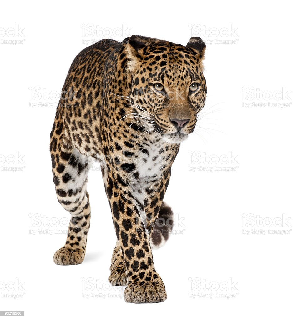 Leopard, Panthera pardus, walking against white background, studio shot royalty-free stock photo