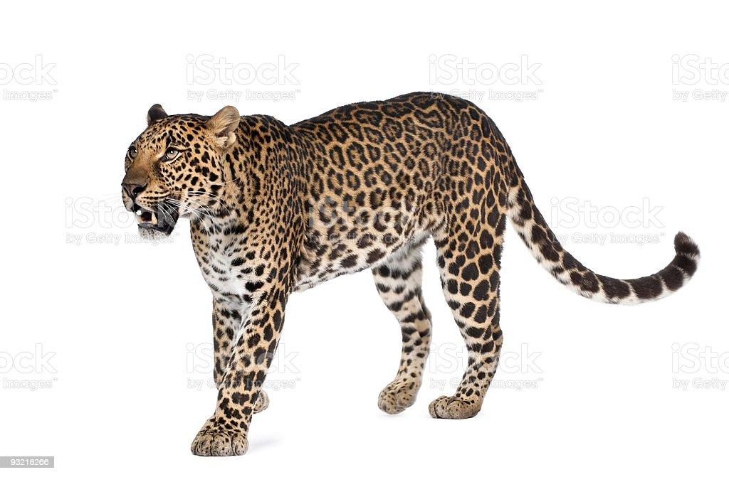 Leopard, Panthera pardus, walking against white background, studio shot stock photo