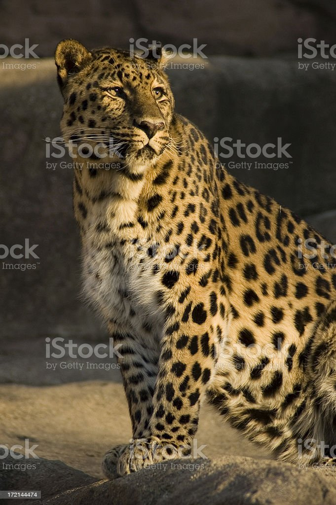 Leopard #3 royalty-free stock photo