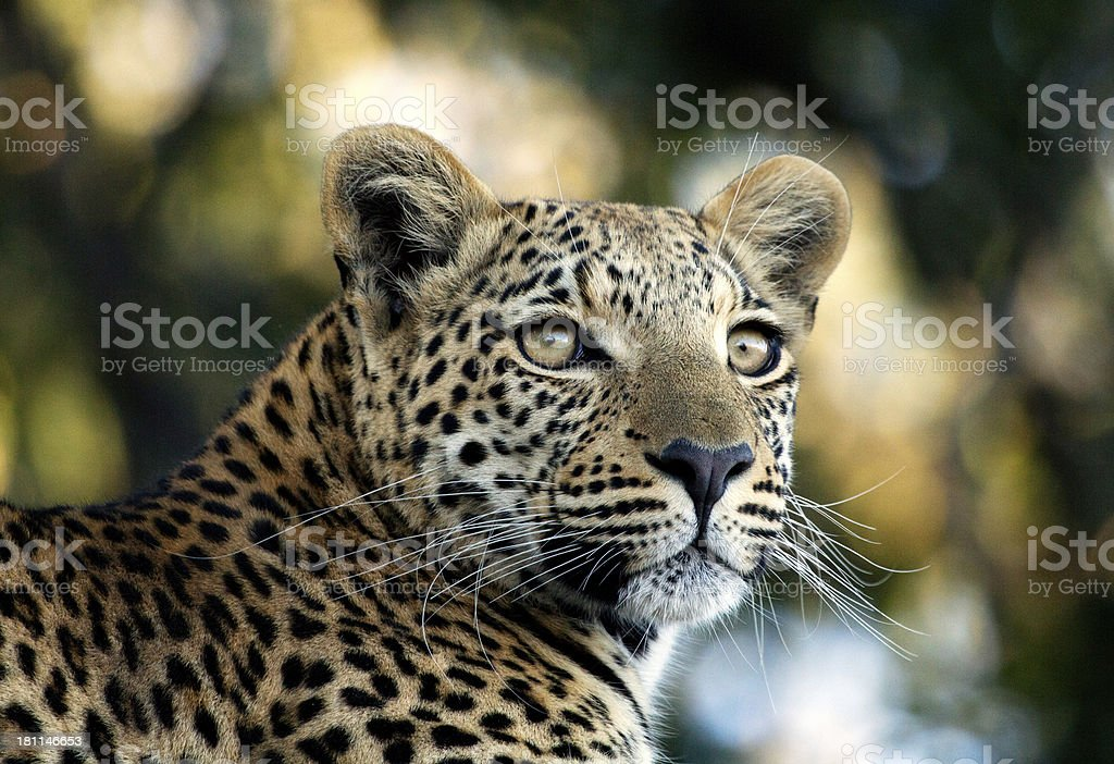 Leopard royalty-free stock photo