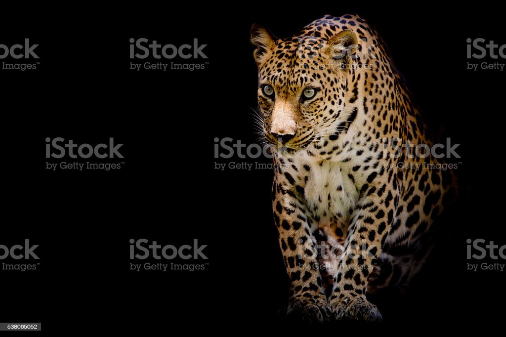 Leopard portrait isolate on black background stock photo