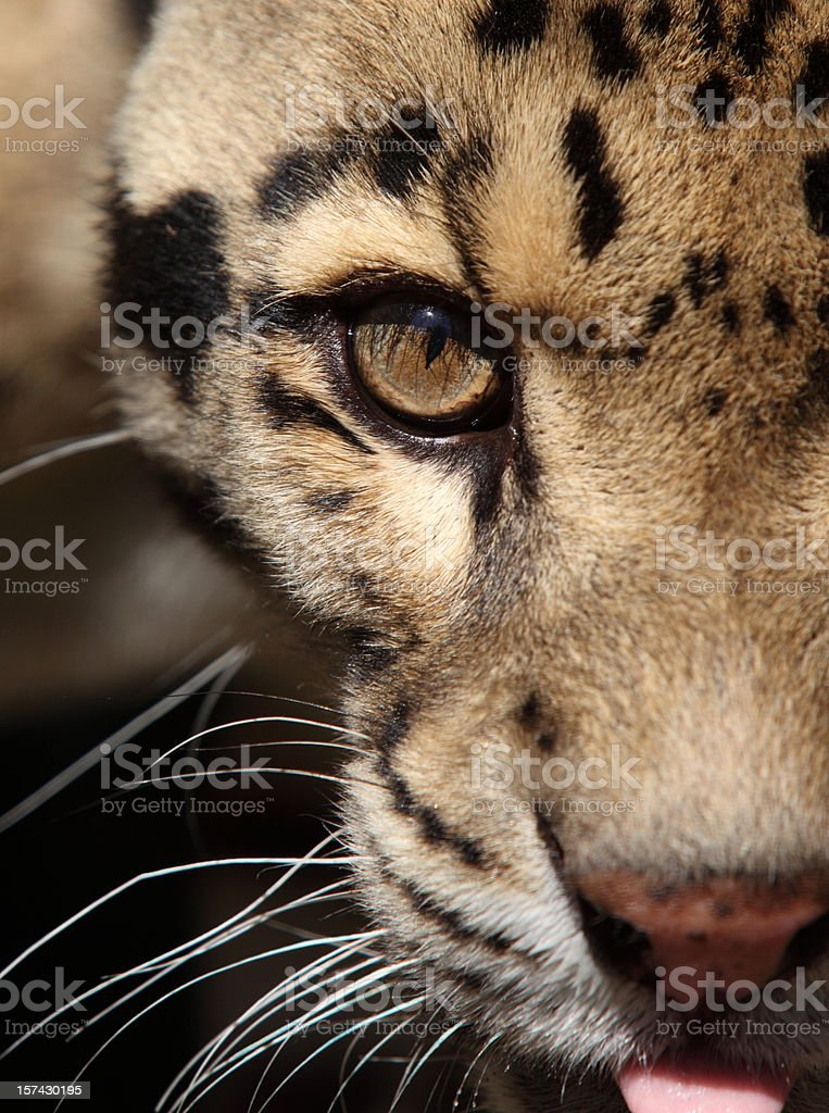 Leopard portrait royalty-free stock photo