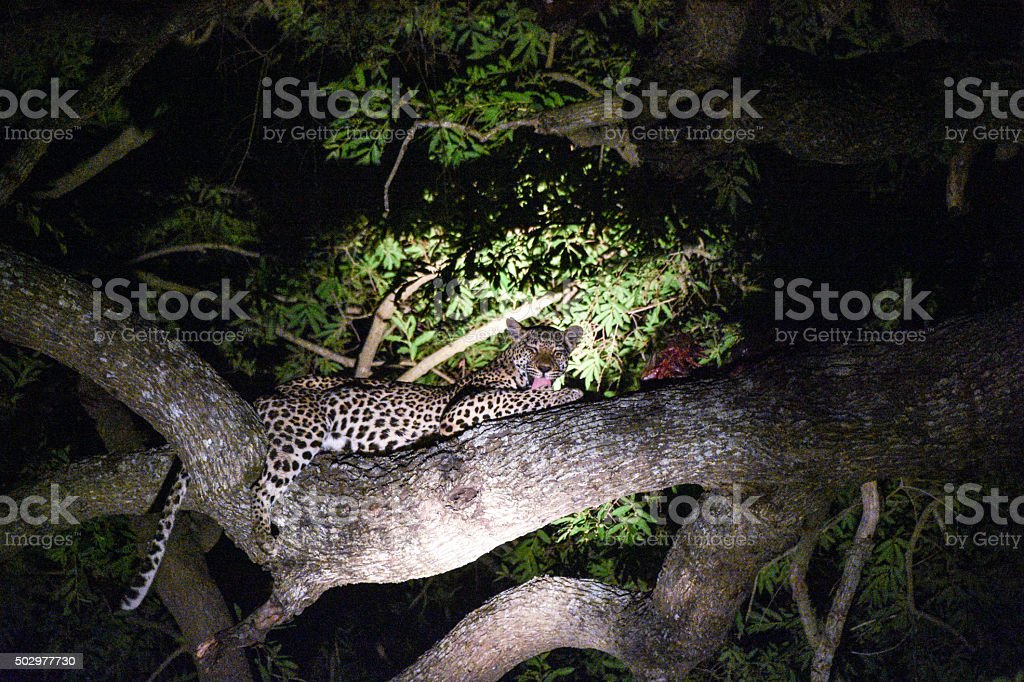 Leopard resting after a kill stock photo
