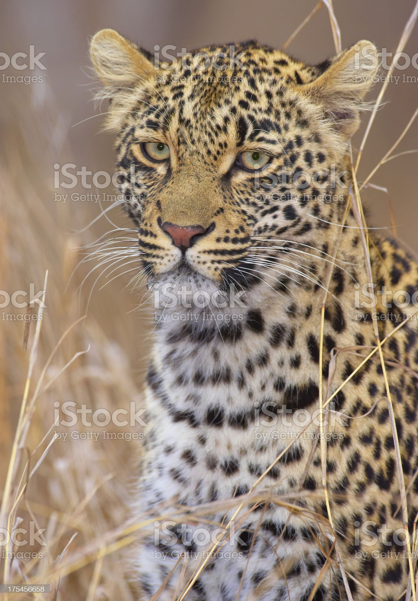 Leopard resting in savannah royalty-free stock photo