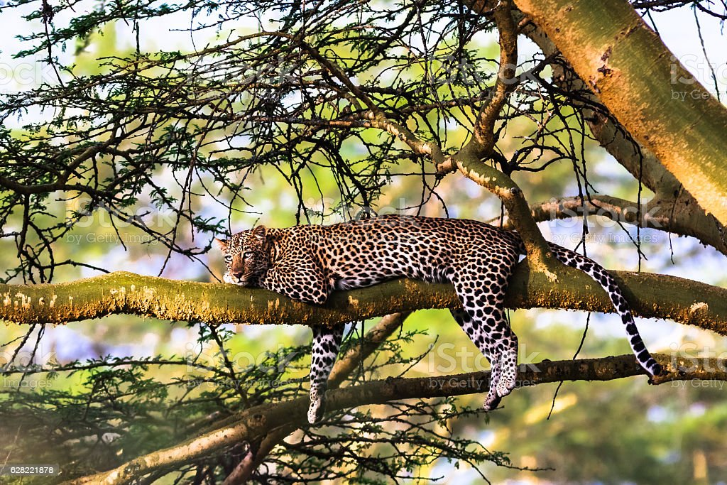 Leopard resting on a tree. Nakuru, Kenya stock photo