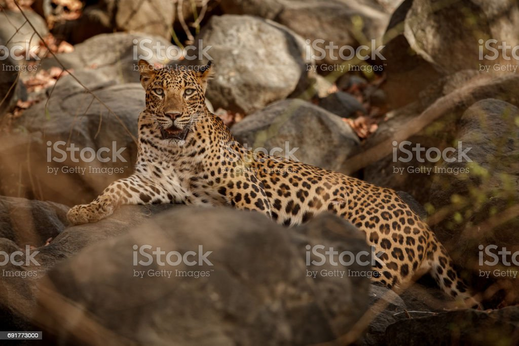 Leopard resting on the rock stock photo