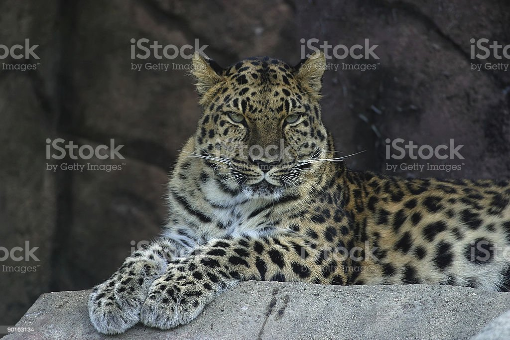 Leopard Resting royalty-free stock photo
