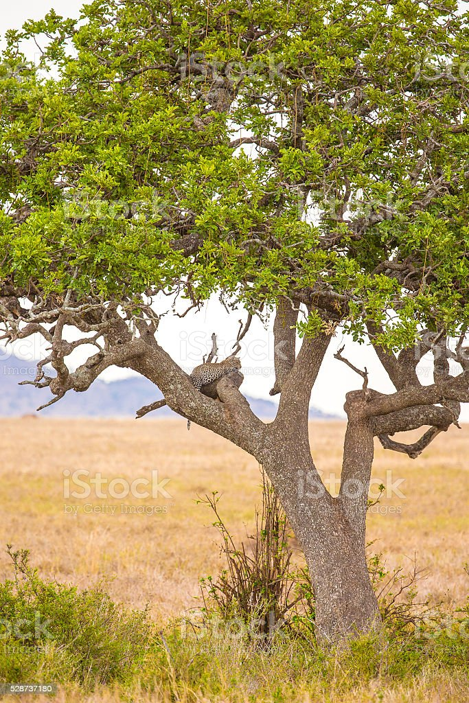 Leopard rests in tree after meal stock photo