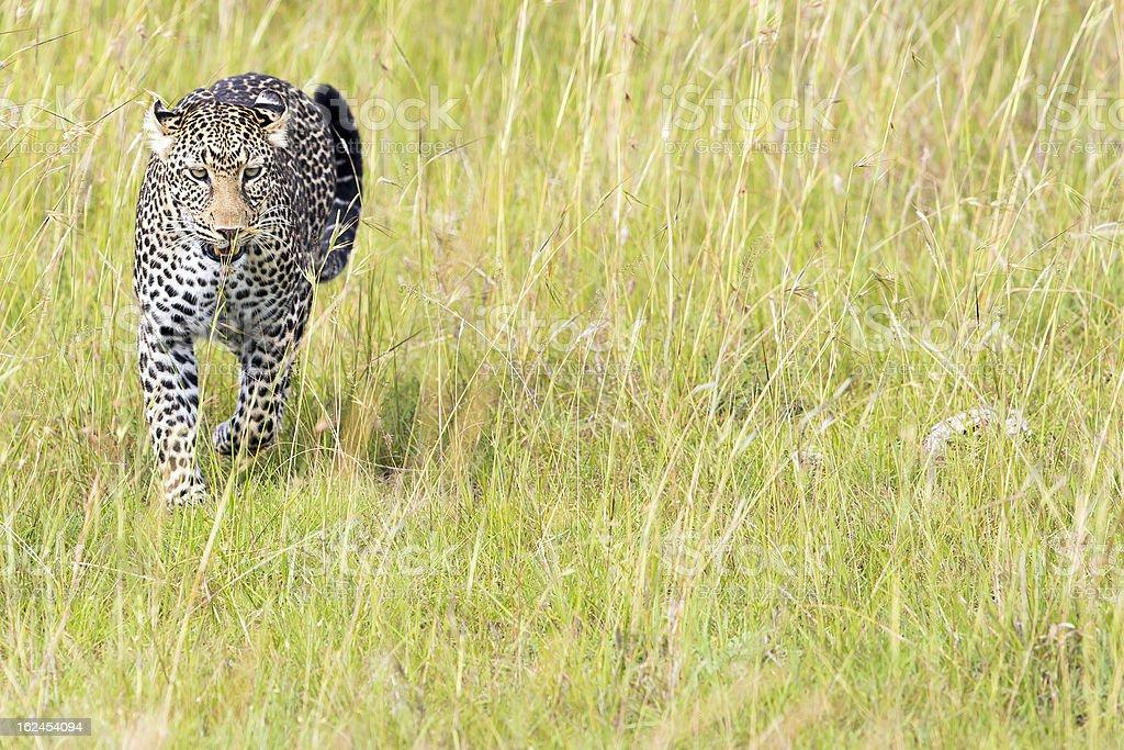 Leopard - running towards the camera royalty-free stock photo