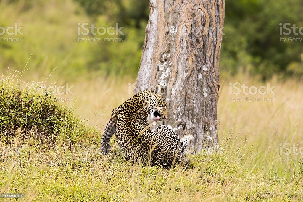Leopard - scratching and cleaning royalty-free stock photo