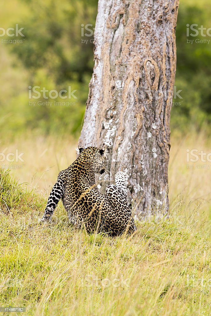 Leopard - scratching royalty-free stock photo