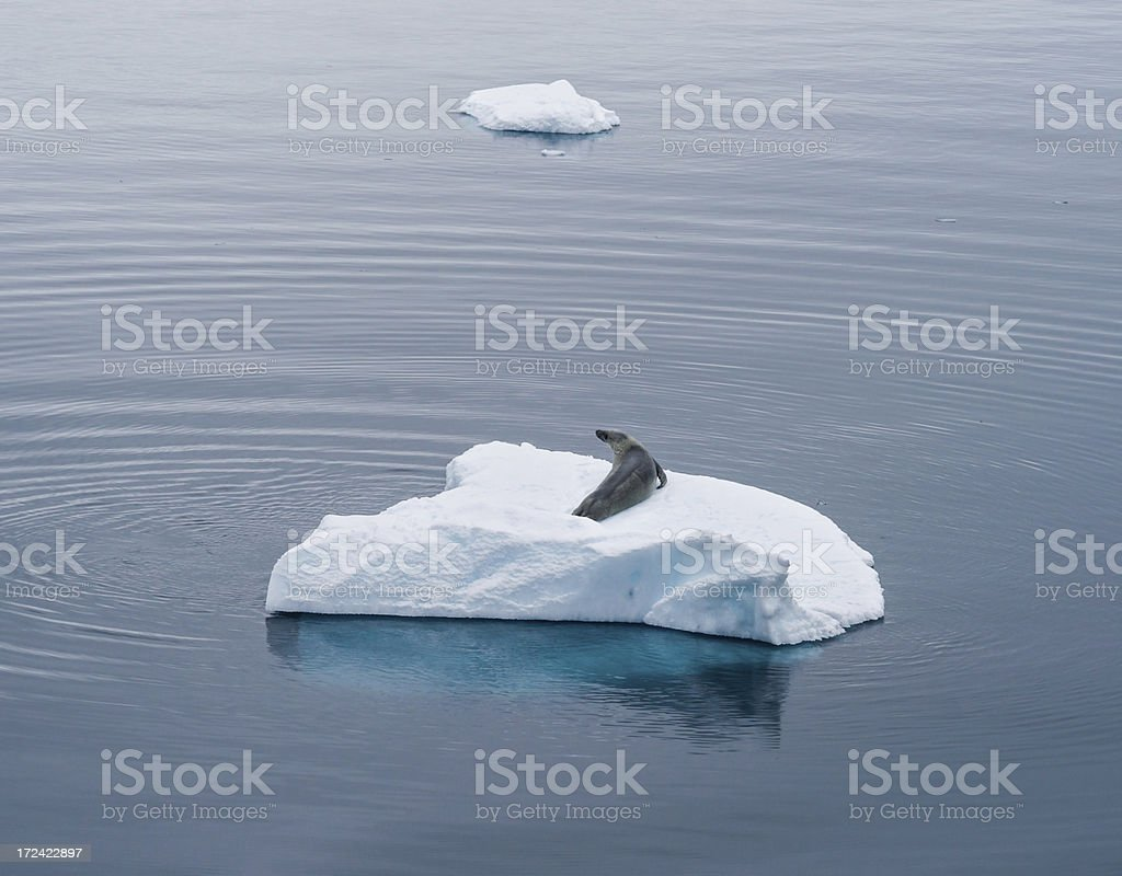 Leopard Seal on Floating iceberg in Antarctica stock photo
