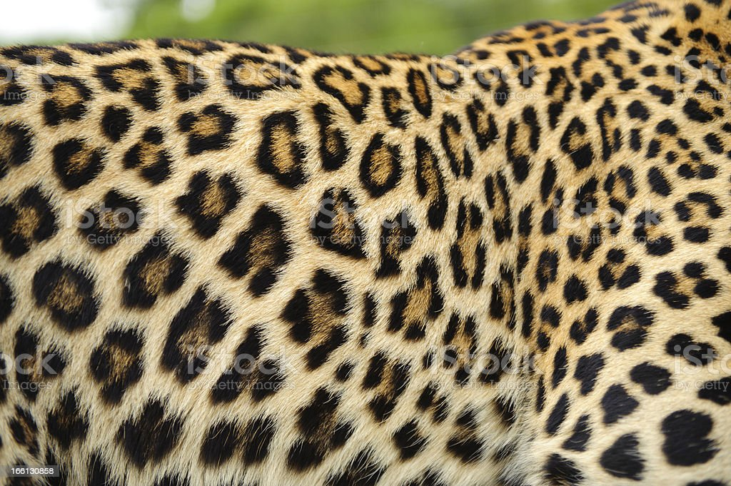 Leopard skin royalty-free stock photo