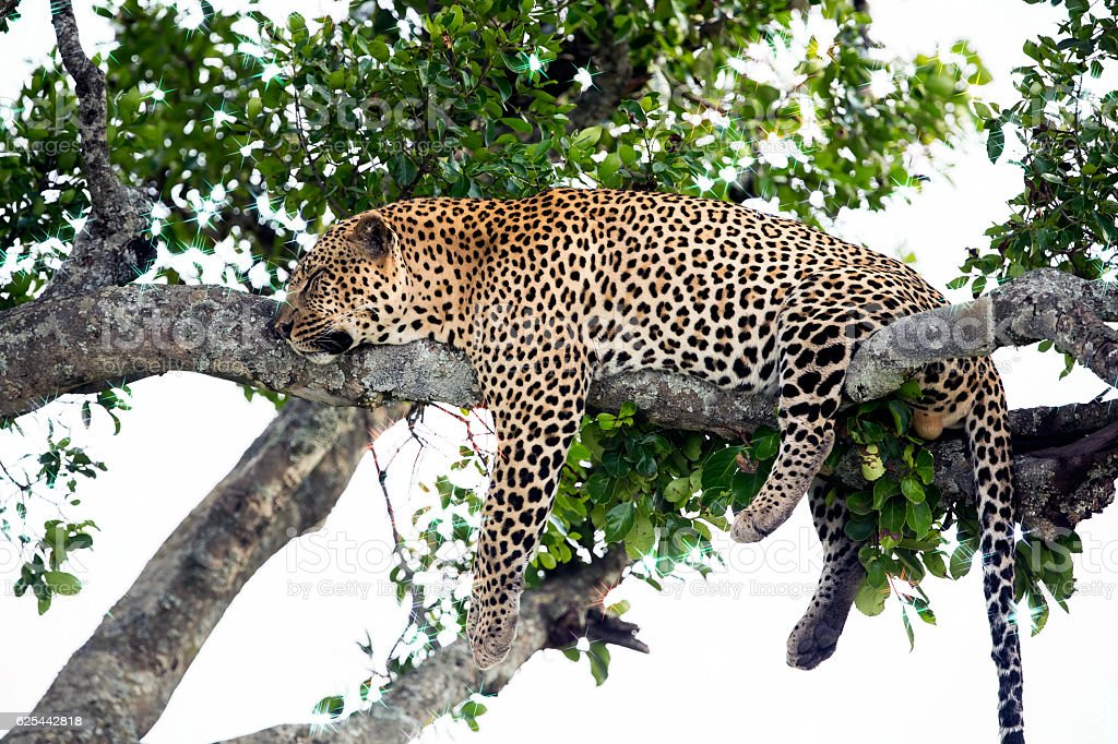 Leopard sleeping full stomach with yellow balls stock photo