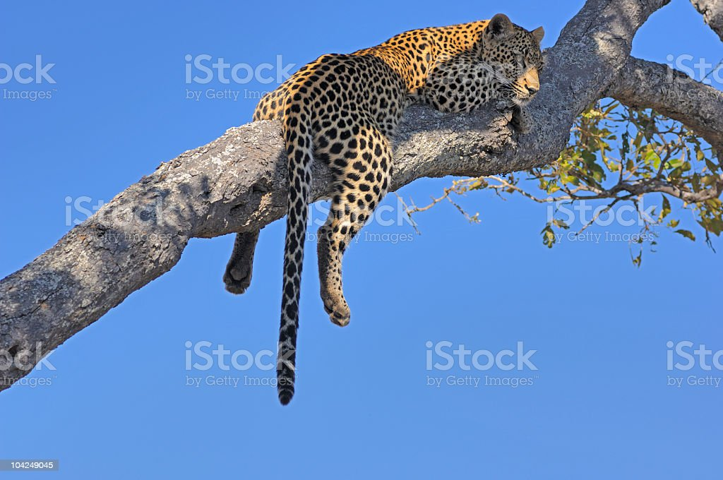 Leopard sleeping on a branch stock photo