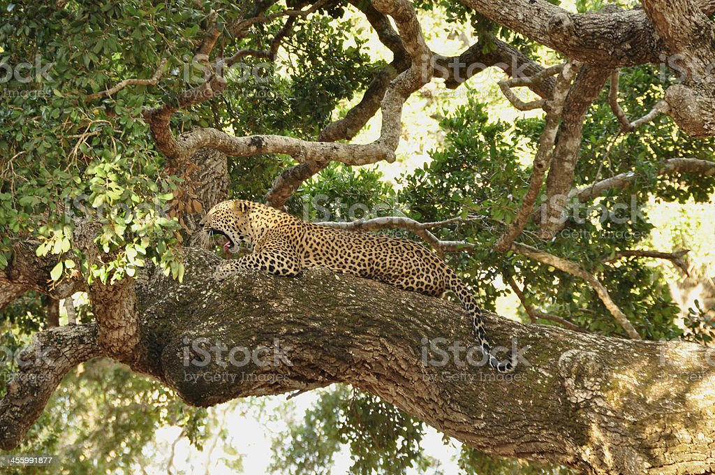 Leopard, Sri Lankan (Panthera pardus kotiya) royalty-free stock photo
