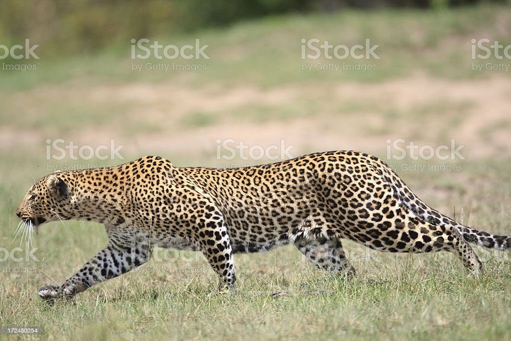 Leopard stalking royalty-free stock photo