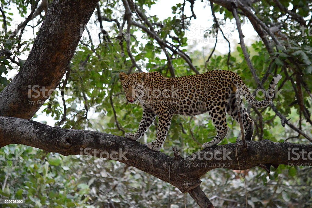 Leopard standing in a tree stock photo