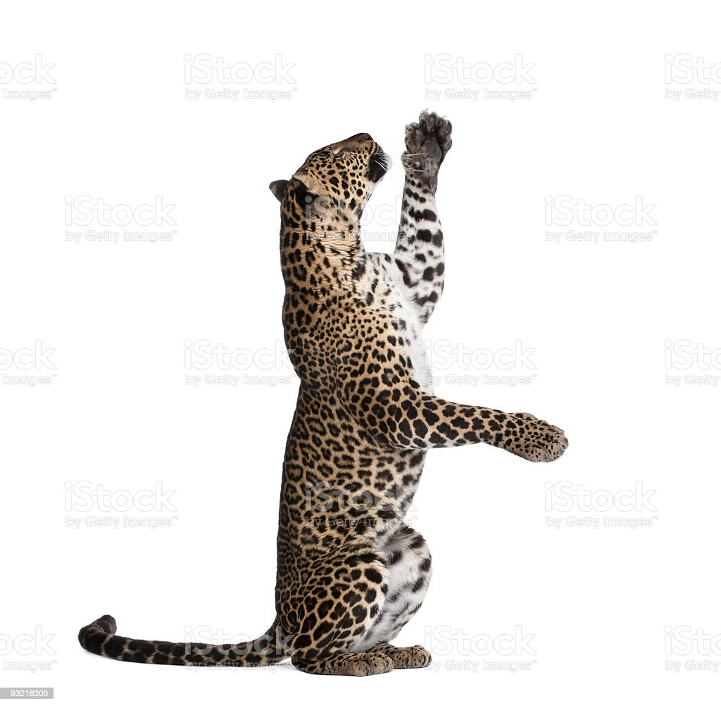 Leopard standing up on its hind legs isolated on white royalty-free stock photo