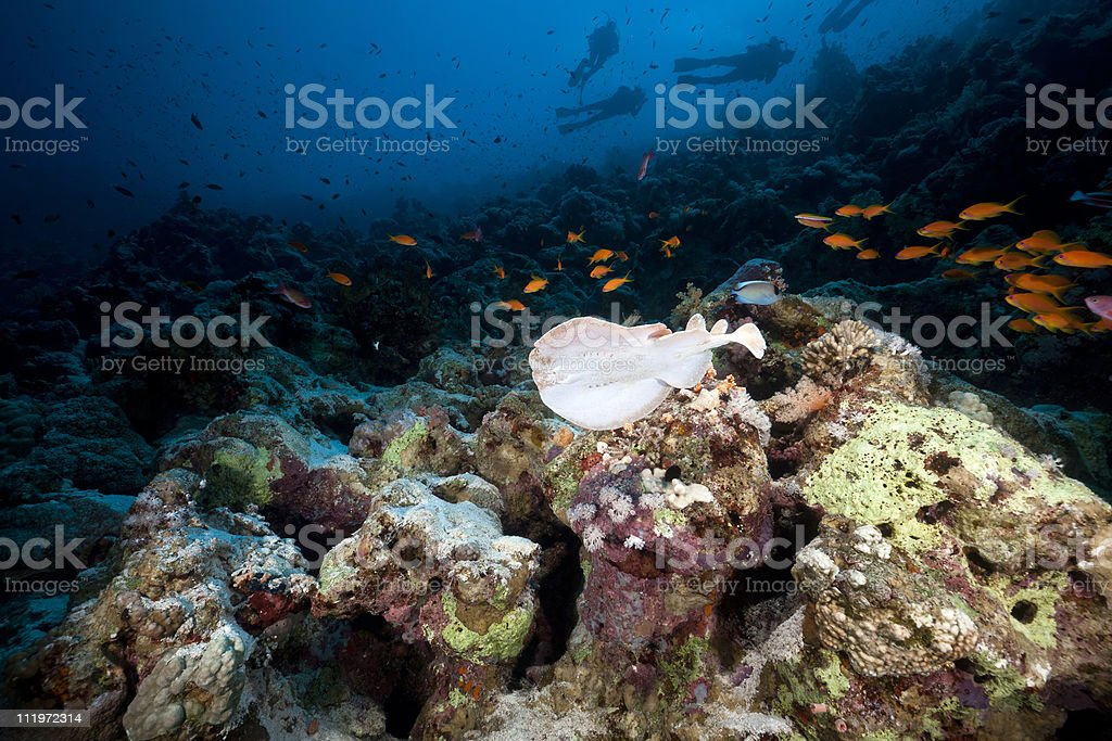 Leopard torpedo ray and tropical reef in the Red Sea. stock photo