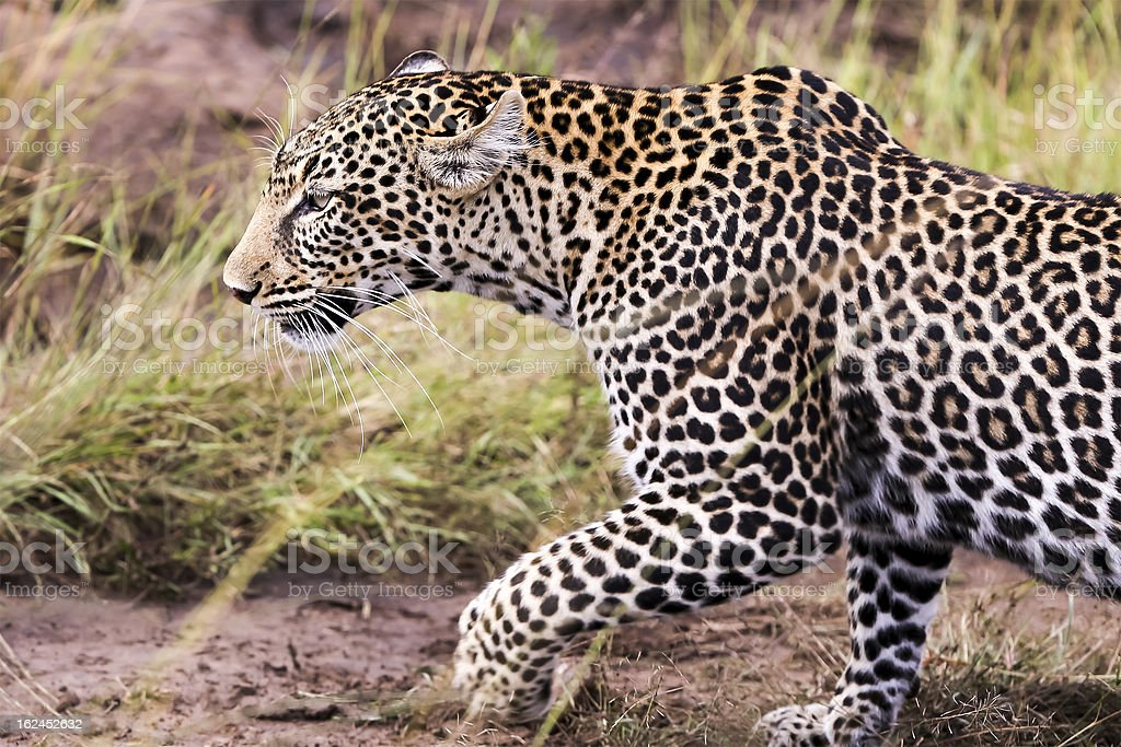 Leopard - walking, side view, close up royalty-free stock photo