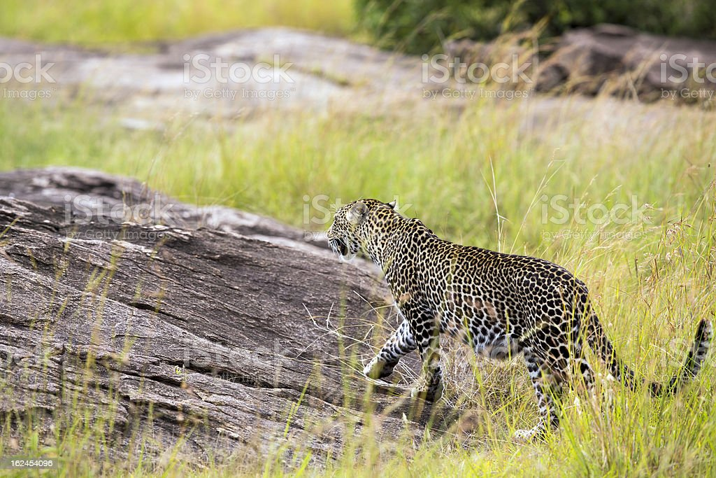 Leopard - walking to the rock royalty-free stock photo