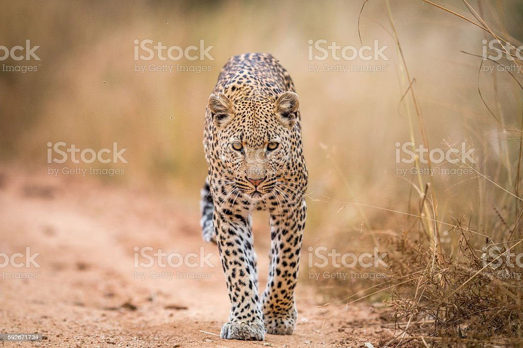 A Leopard walking towards the camera in the Kruger. stock photo