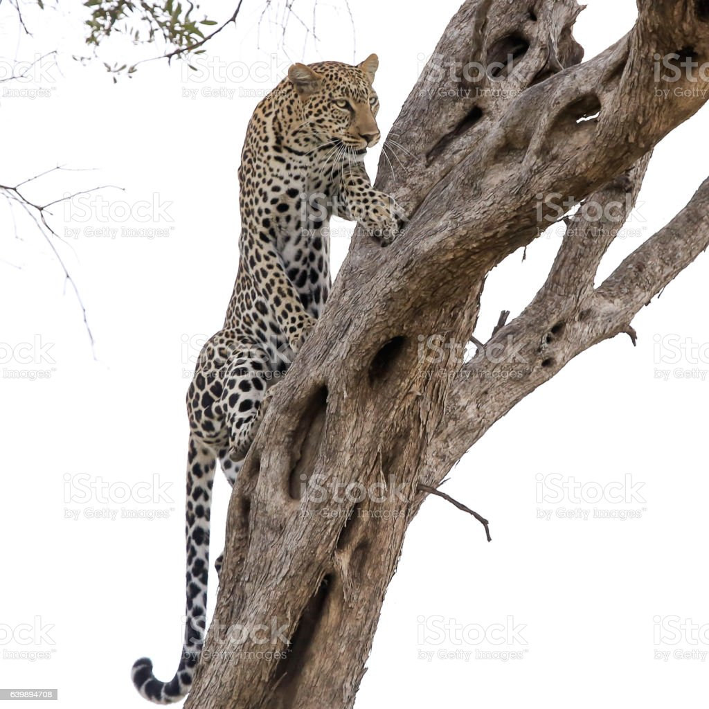 Leopard - watching and hunting stock photo
