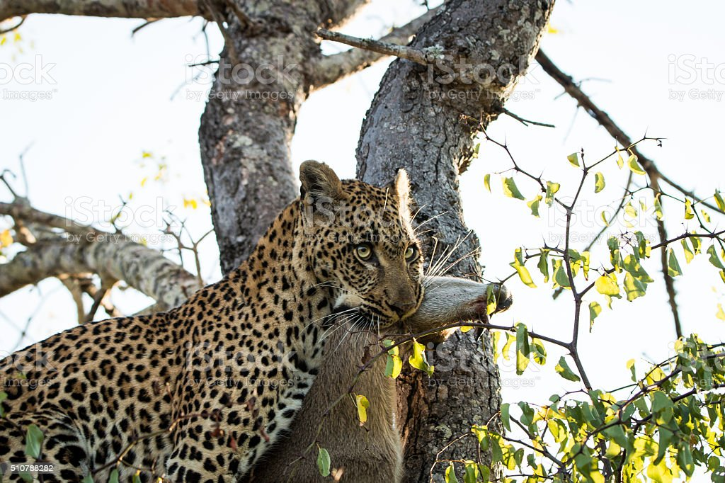 Leopard with a Duiker kill stock photo