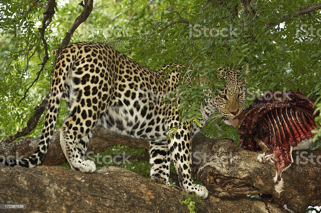 Leopard with his kill on the mashatu tree stock photo