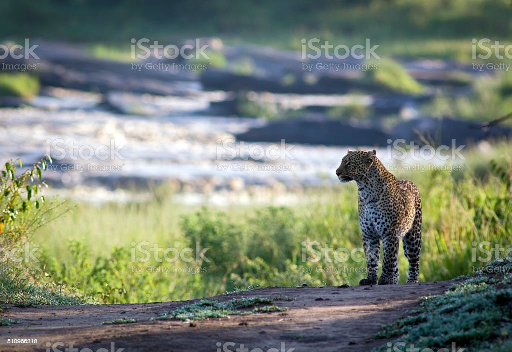 Leopard with river backdrop stock photo
