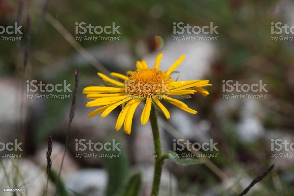 Leopards bane flower stock photo
