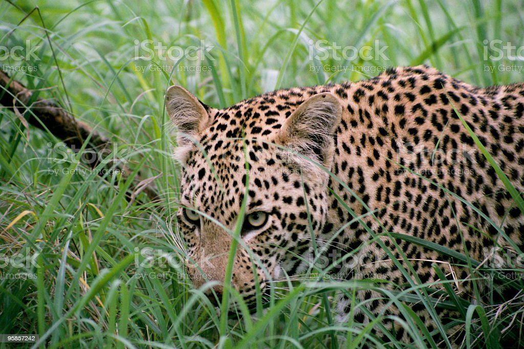 Lepard in high grass stock photo