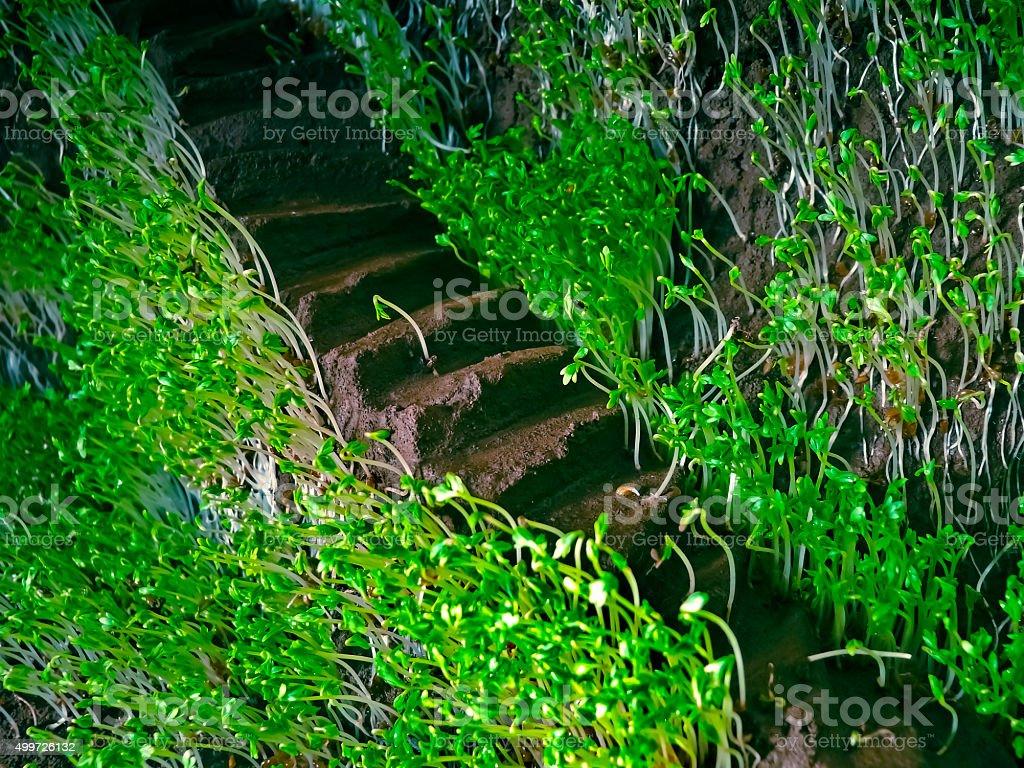 Lepidium sativum L, gardencress pepperweed stock photo