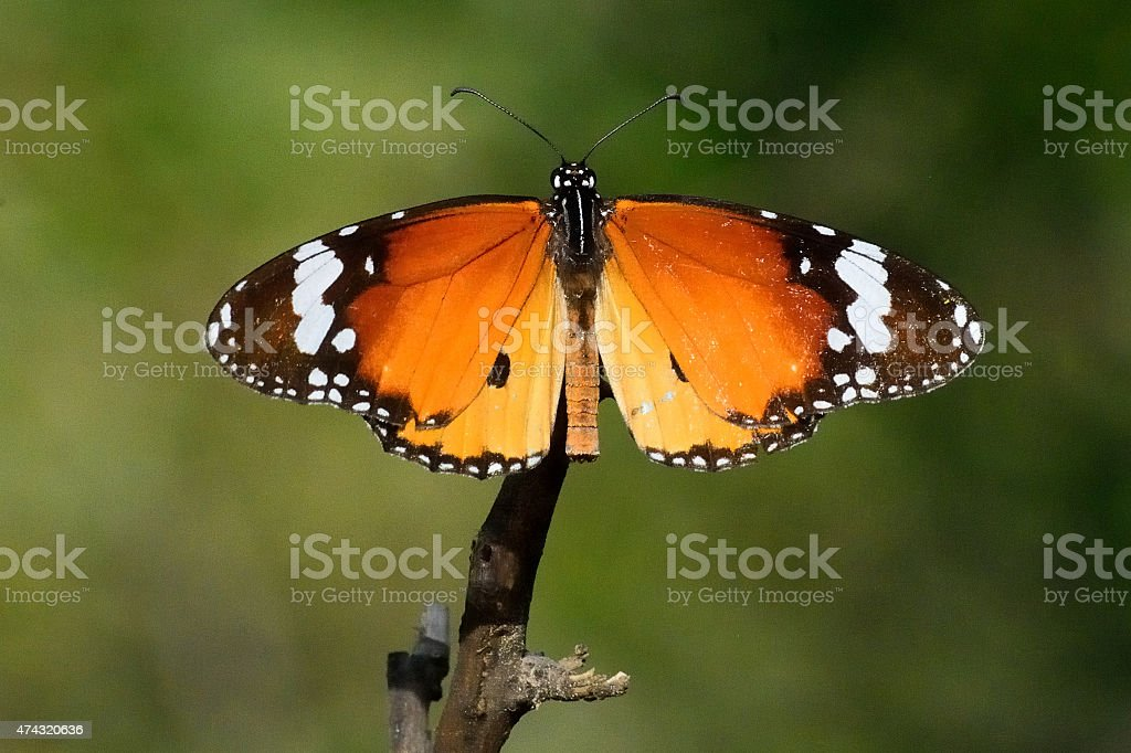 Lepidoptera stock photo