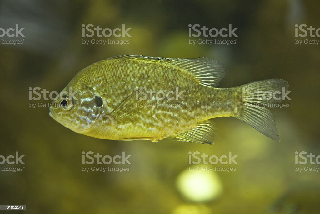 Lepomis gibbosus stock photo